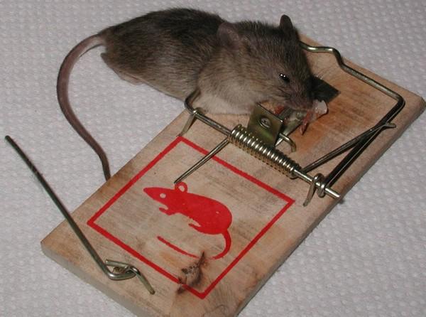 Hubení myší v městě Praha
