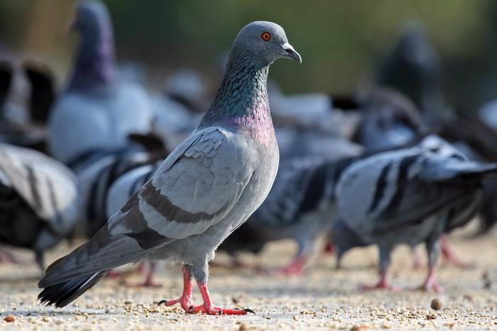 Jak na holuby s firmou Dopareal