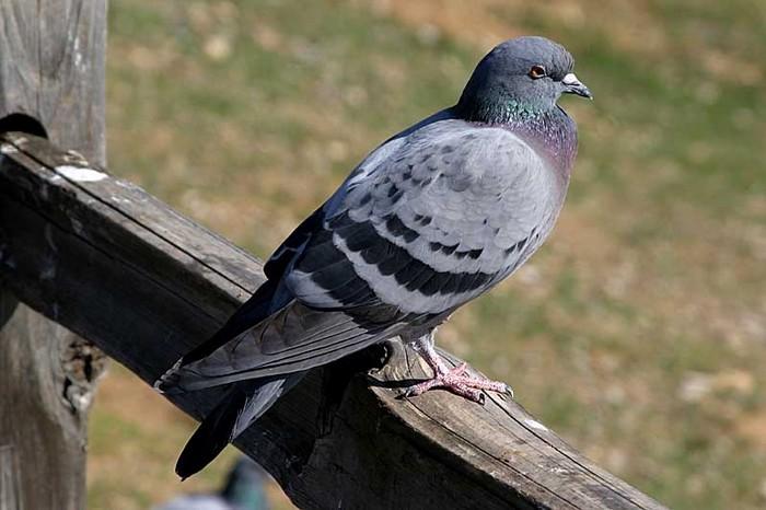 Likvidace holubů v městě Praha